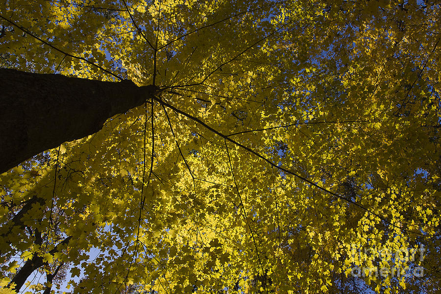 Fall Maple Photograph