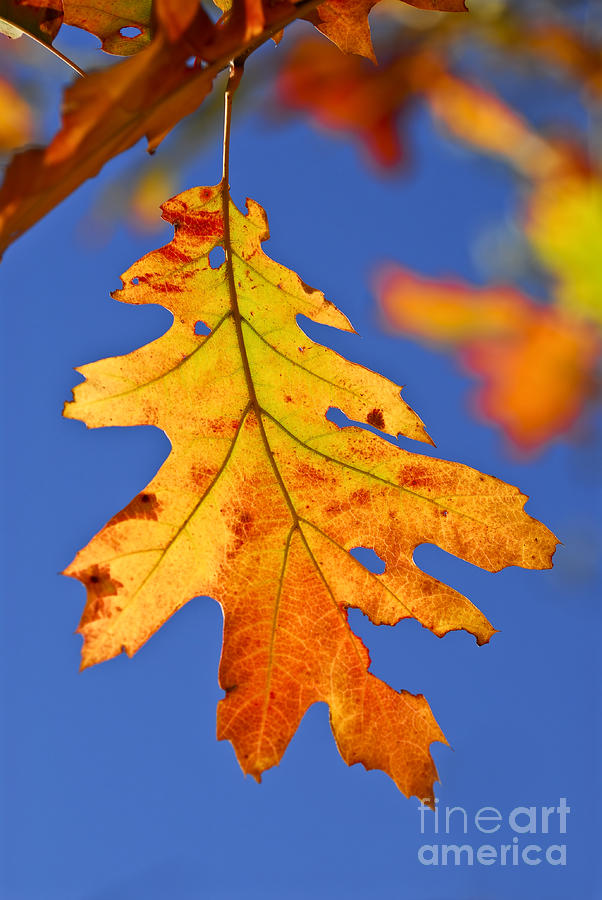 Fall Oak Leaf Photograph  - Fall Oak Leaf Fine Art Print