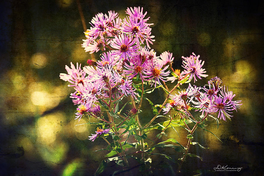 Fall Splendor Wild Asters Photograph  - Fall Splendor Wild Asters Fine Art Print