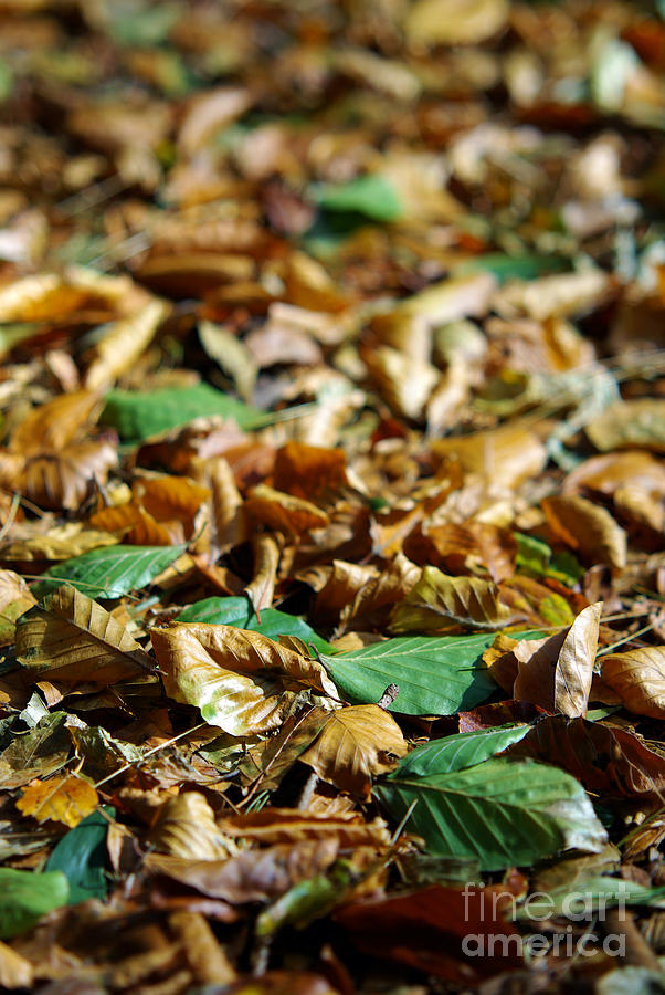 Aged Photograph - Fallen Leaves by Carlos Caetano
