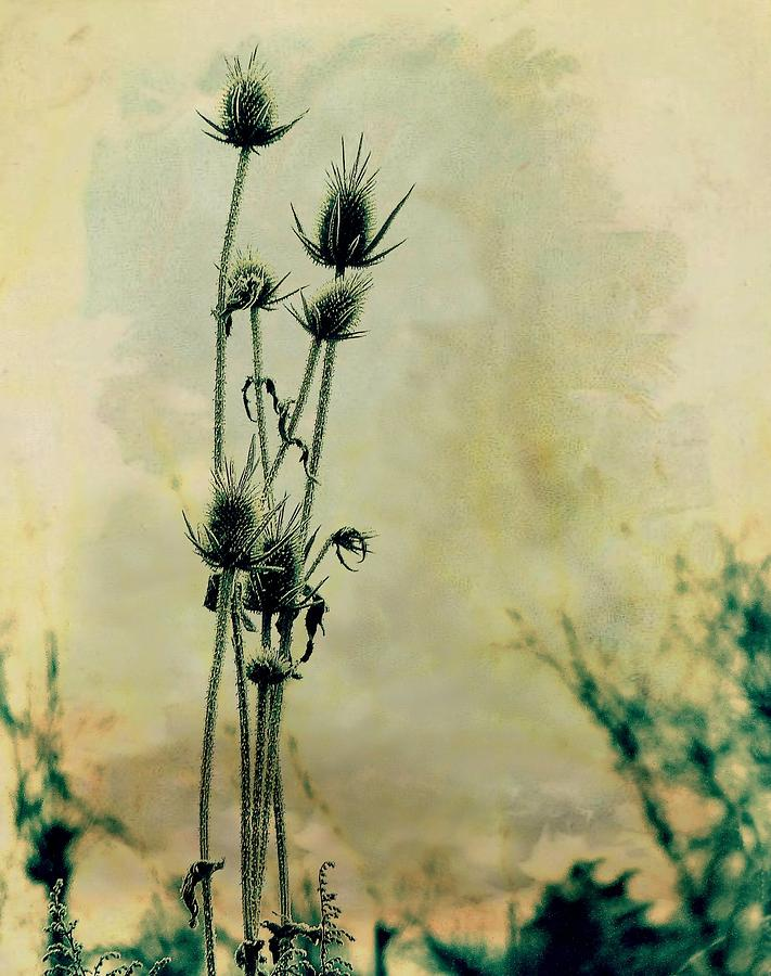 Family Of Teasels Photograph  - Family Of Teasels Fine Art Print