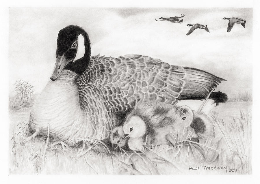 A Mother Canadian Goose With Goslings In Water's Edge Setting.  Drawing - Family by Paul Treadway