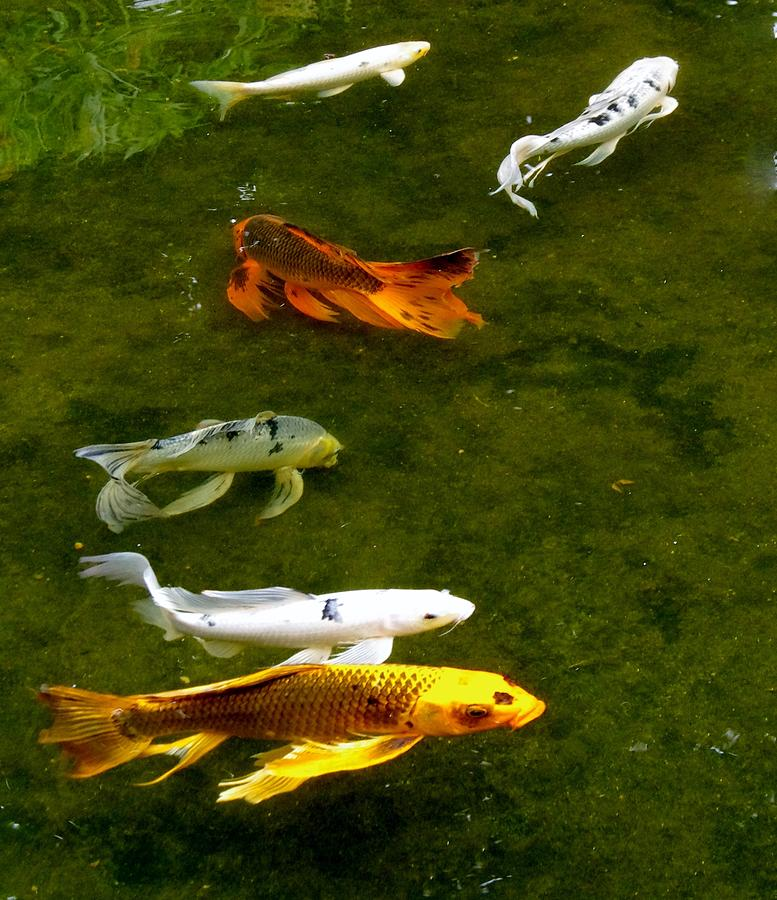 Fancy Tail Koi Photograph By Phyllis Spoor
