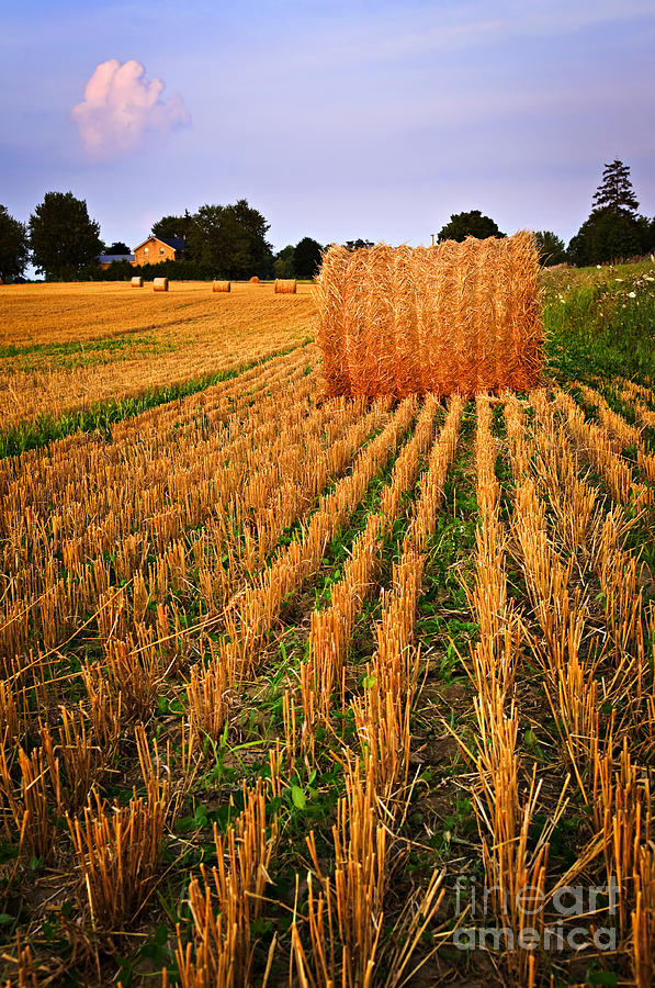 Farm Field With Hay Bales At Sunset In Ontario Photograph  - Farm Field With Hay Bales At Sunset In Ontario Fine Art Print