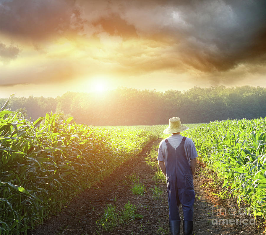 Farmer Walking In Corn Fields At Sunset Photograph  - Farmer Walking In Corn Fields At Sunset Fine Art Print
