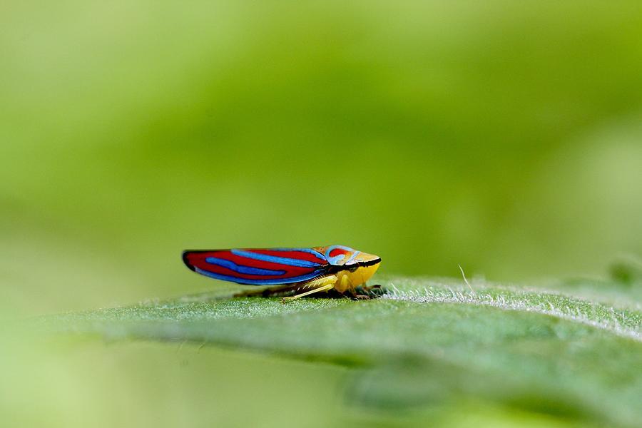 Leafhopper Photograph - Fashion Bug - Leafhopper by  Andrea Lazar