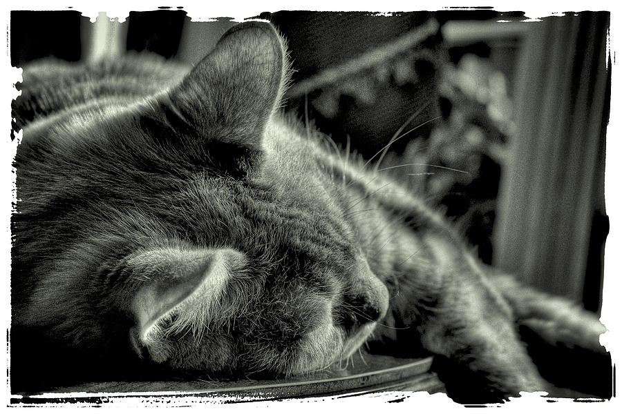 Fatigued Feline Photograph  - Fatigued Feline Fine Art Print