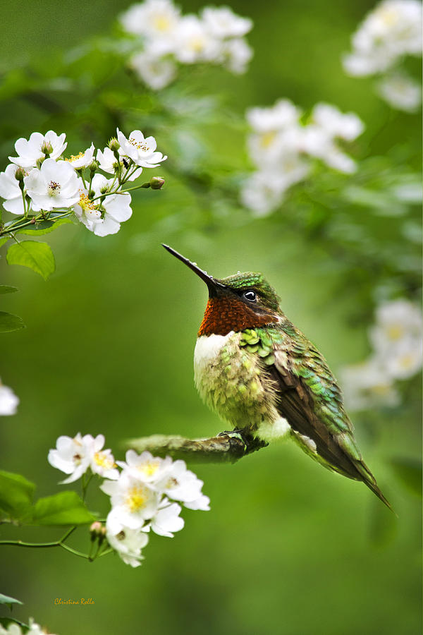Fauna And Flora - Hummingbird With Flowers Photograph  - Fauna And Flora - Hummingbird With Flowers Fine Art Print