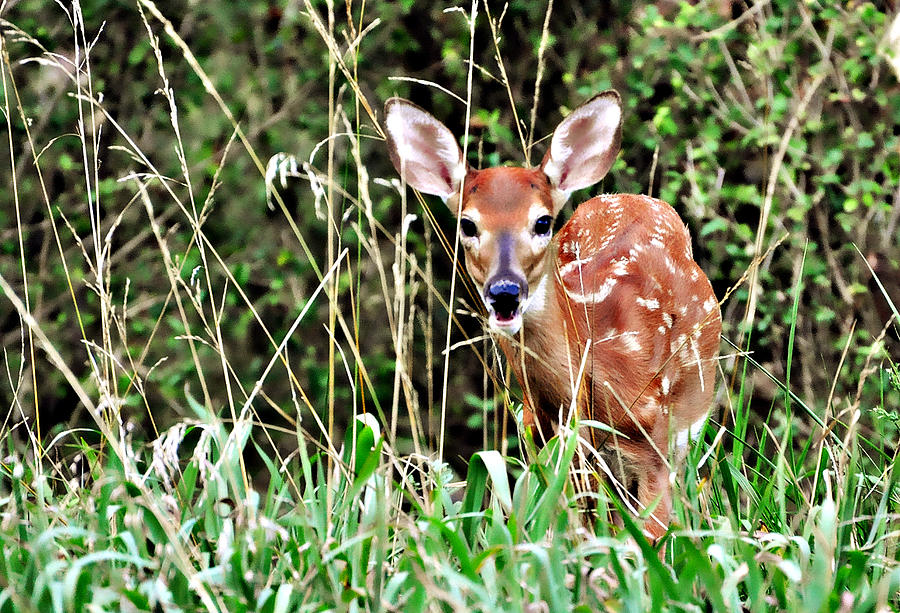 A Whitetail Fawn Hiding In The Tall Grass. Photograph - Fawn In The Grass by Marty Koch