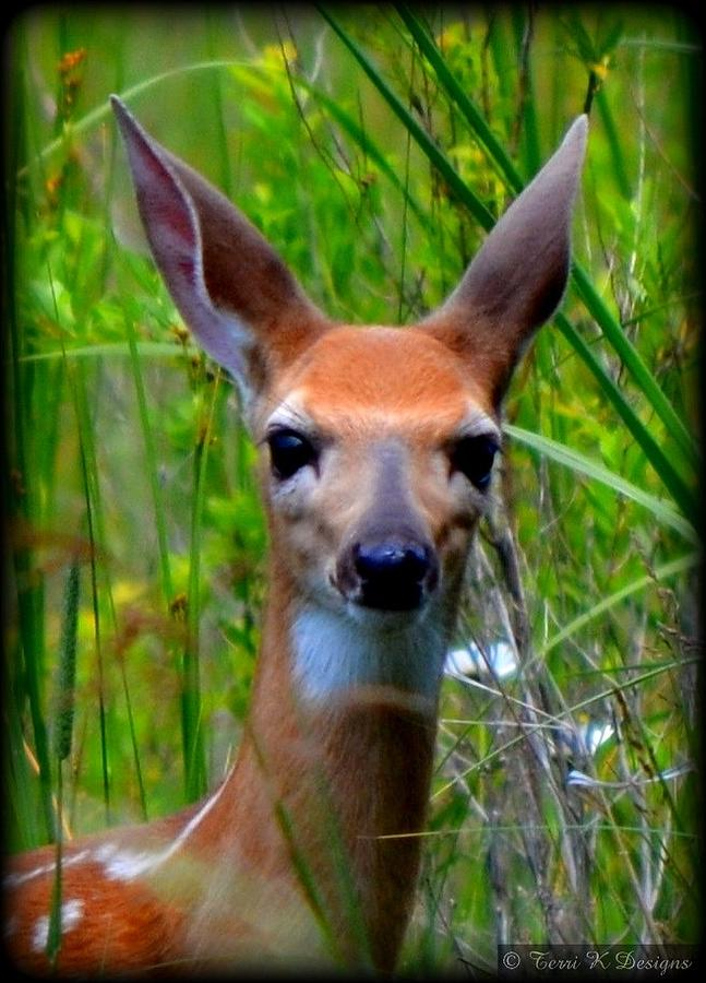 Fawn Photograph