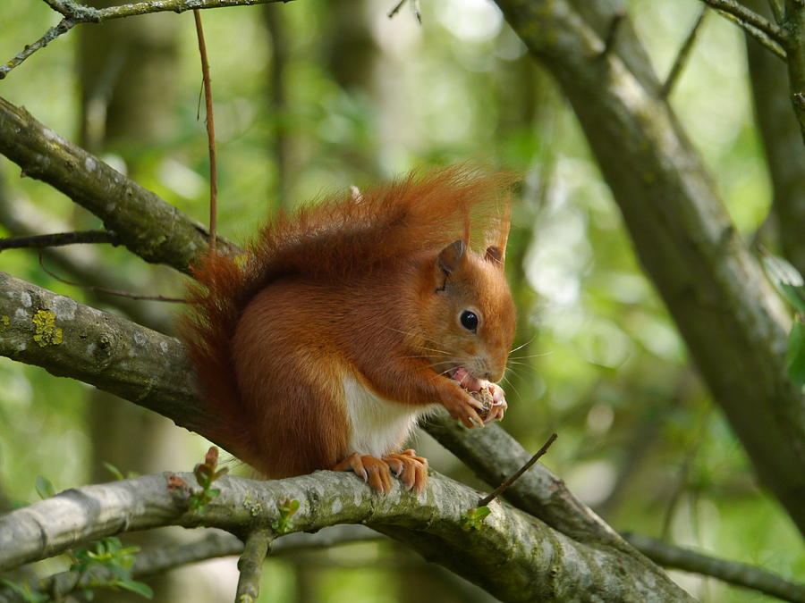 Feeding Red Squirrel Photograph