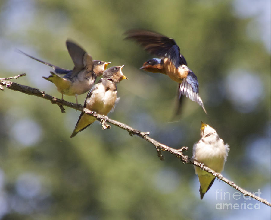 Barn Swallows Photograph - Feeding Time by Tracey Levine