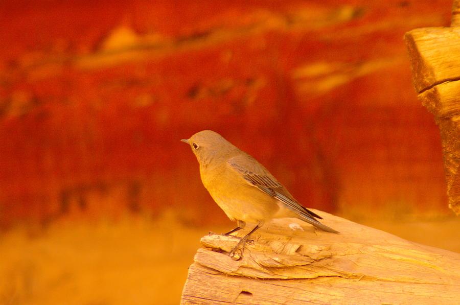 Female Blue Bird Photograph