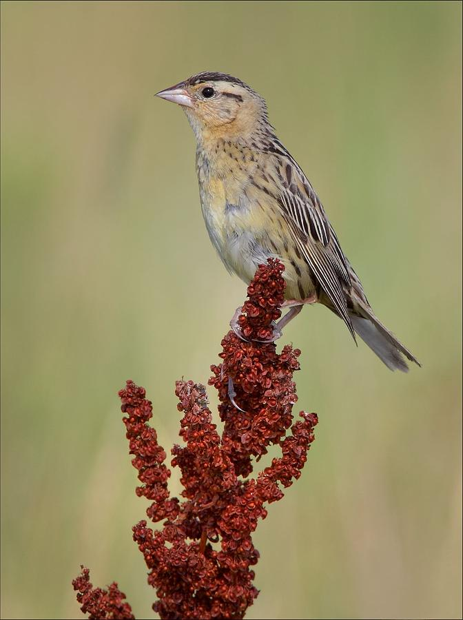 Female Bobolink Photograph  - Female Bobolink Fine Art Print