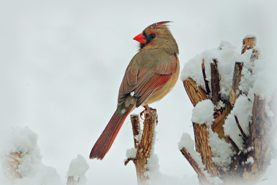 Female Cardinal In The Snow Photograph