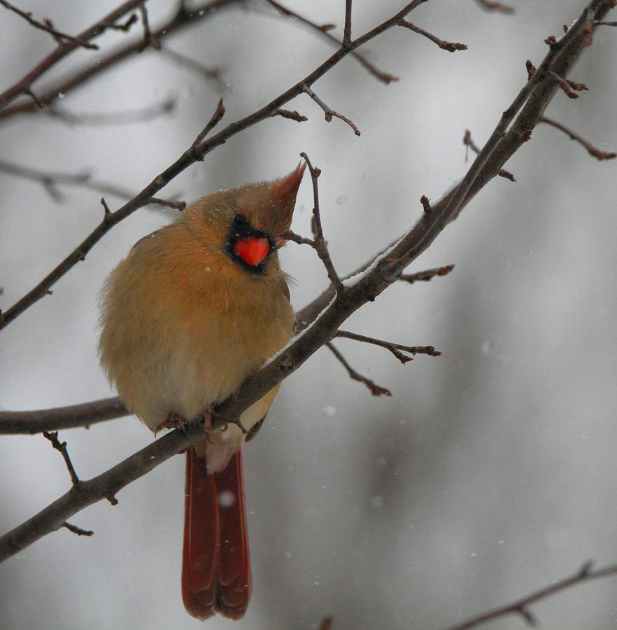 17 Best images about Tattoo Ideas - Blue Jays and ...  Female Cardinal In Winter