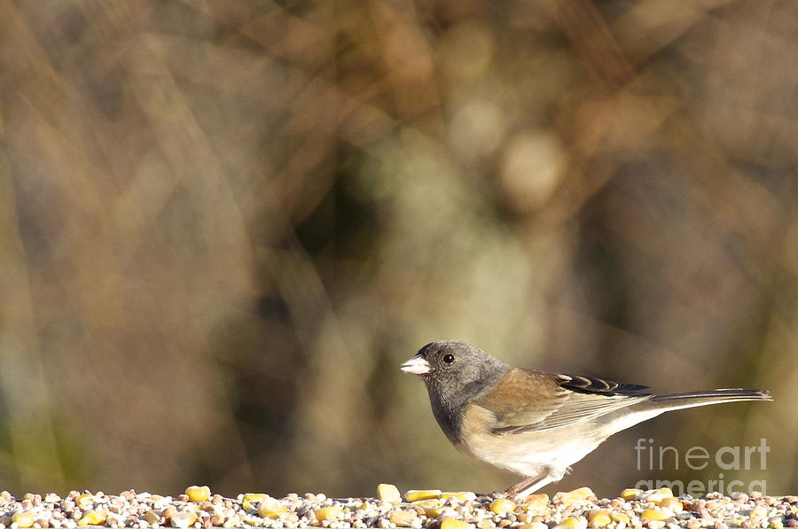 Female Dark-eyed Junco Photograph