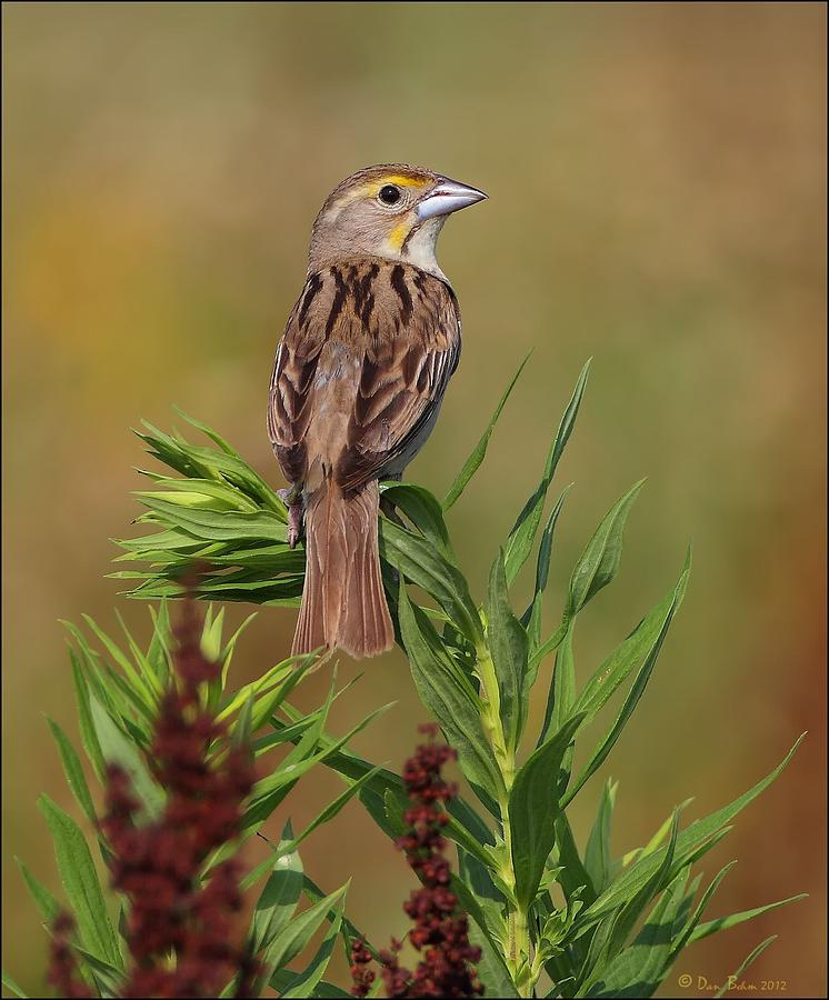 Female Dickcissel Photograph