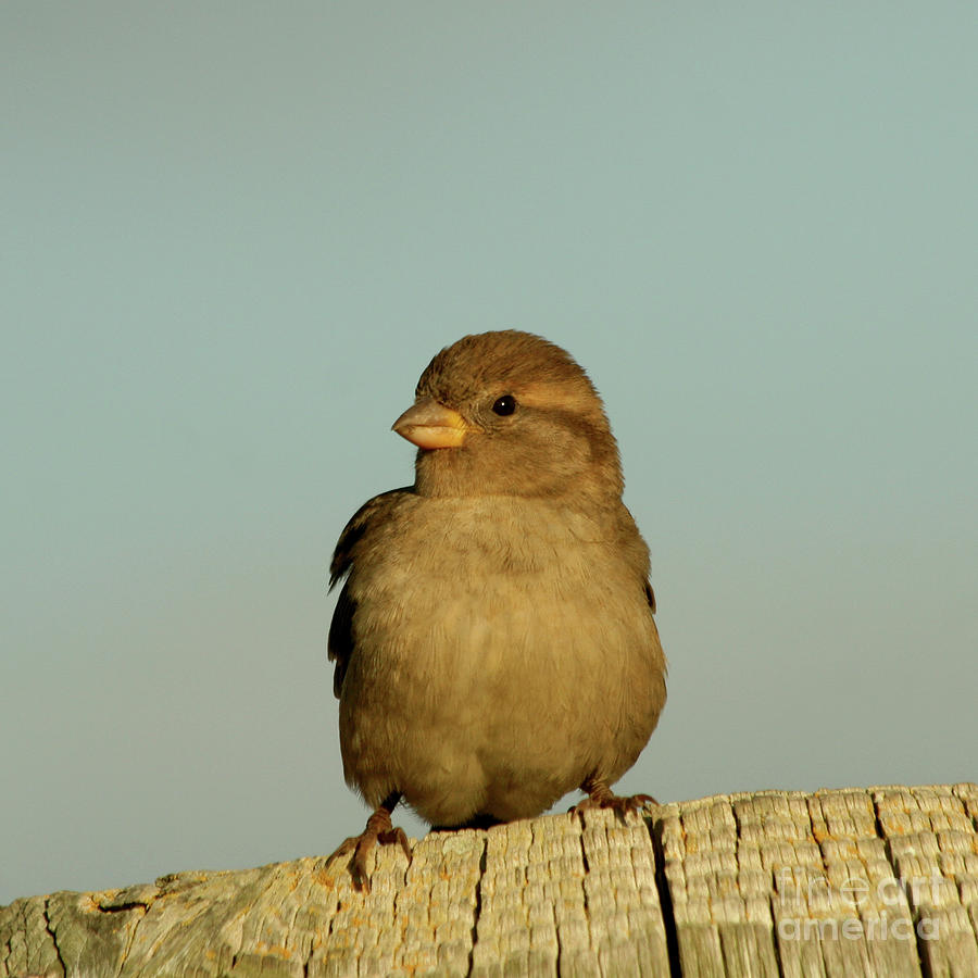 Female House Sparrow Photograph