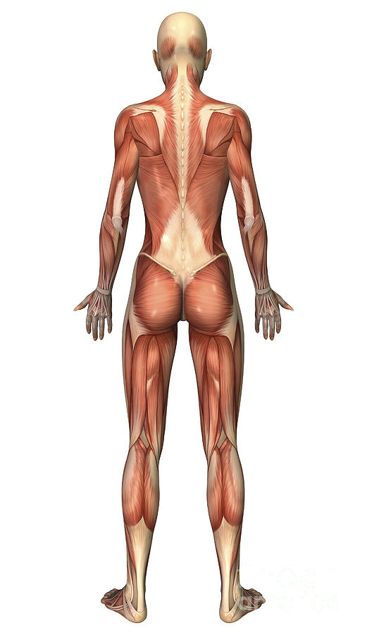 Female Muscular System, Back View Digital Art