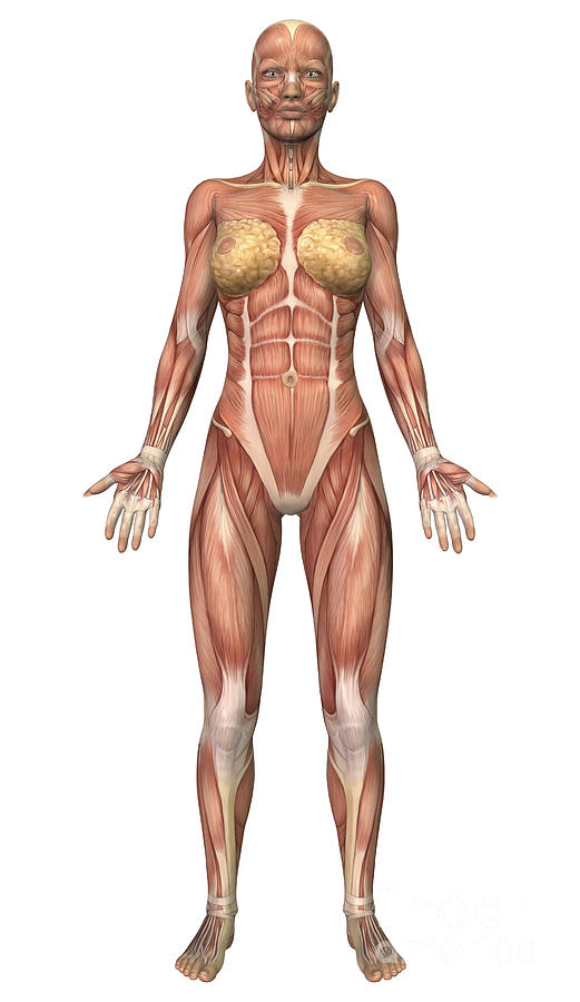 Female Muscular System, Front View Digital Art