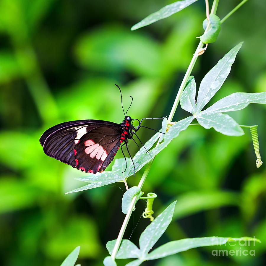 Female Pink Cattleheart Butterfly Photograph  - Female Pink Cattleheart Butterfly Fine Art Print