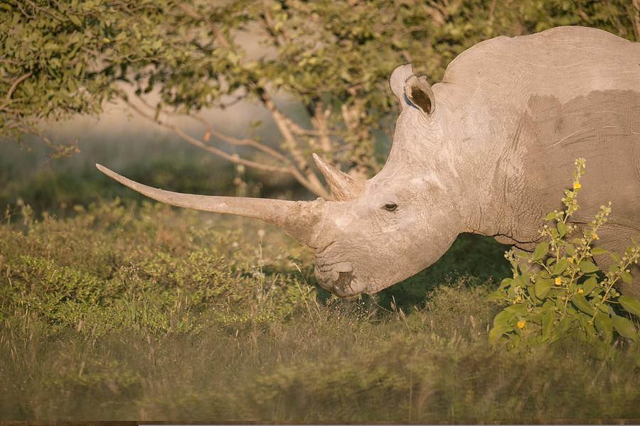 Female White Rhinoceros Grazing Photograph