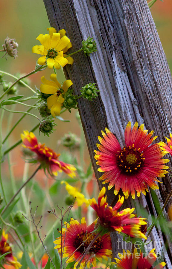 Fenceline Wildflowers Photograph  - Fenceline Wildflowers Fine Art Print