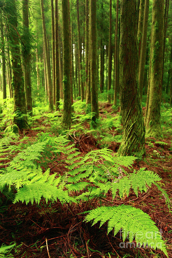 Ferns In The Forest Photograph
