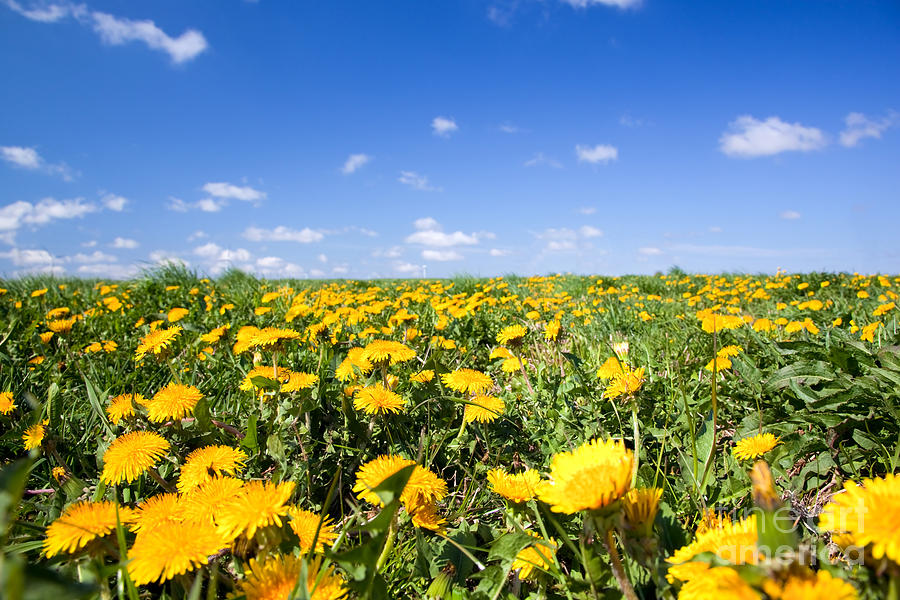 Field Full Of Dandelions In Spring is a photograph by Michal Bednarek ...