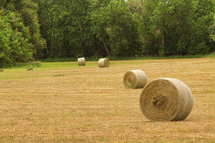 Field Of Freshly Baled Round Hay Bales Photograph