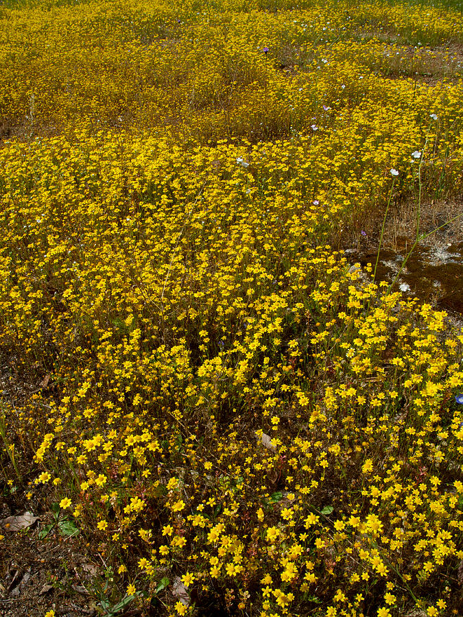 Field Of Goldfields In Park Sierra-ca Photograph