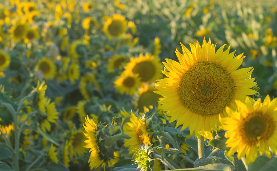 Sunflower Photograph - Field Of Happiness by Rima Biswas