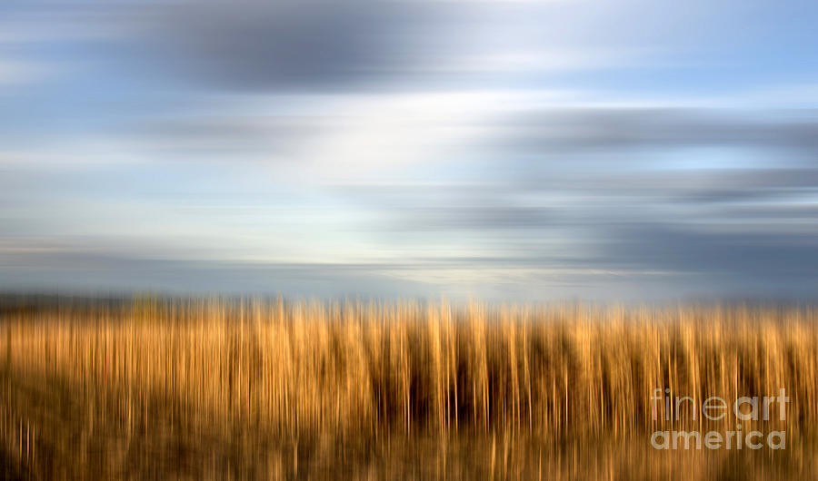 Field Of Maize Photograph  - Field Of Maize Fine Art Print