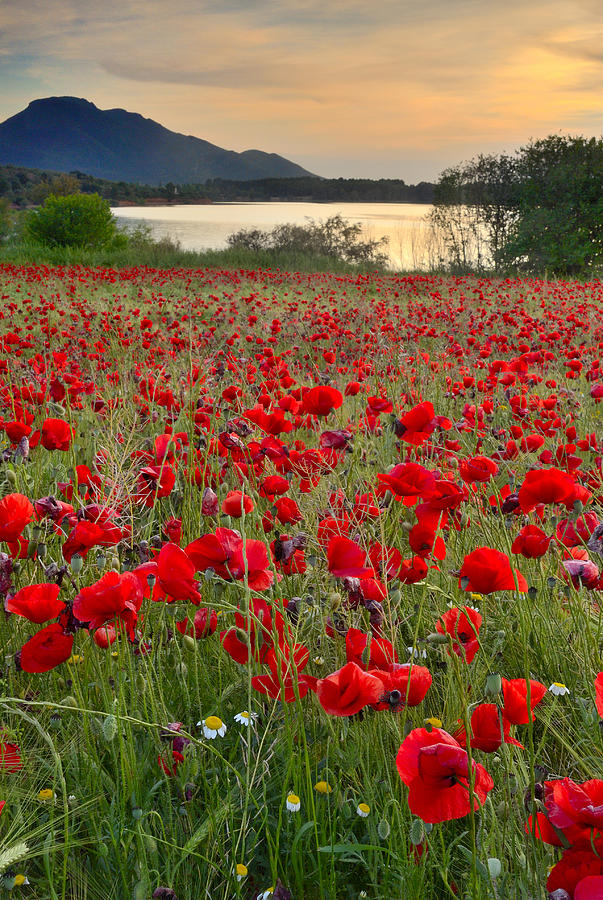Field Of Poppies At The Lake Photograph