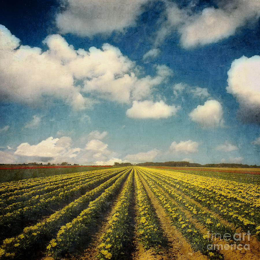 Field Of Tulips Photograph  - Field Of Tulips Fine Art Print