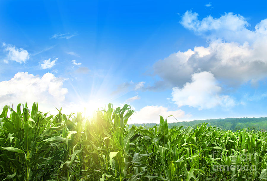 Field Of Young Corn Growing Against Blue Sky Photograph