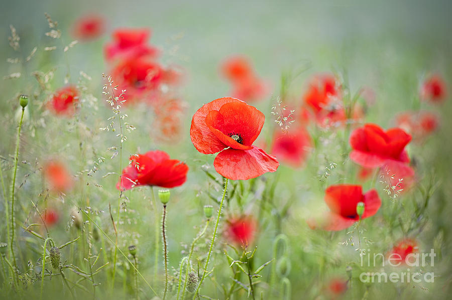 Papaver Rhoaes Photograph - Field Poppies by Jacky Parker