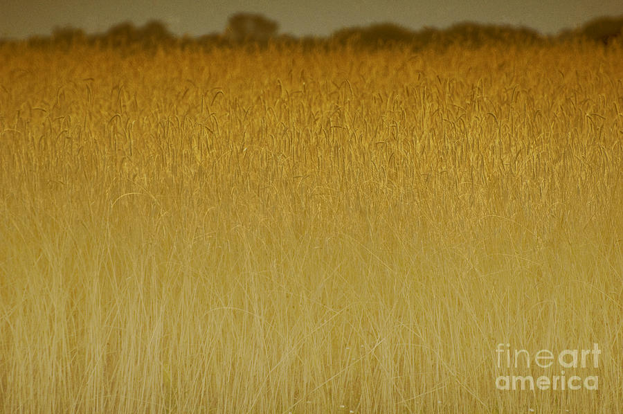 Fields Of Gold Nature Abstract Photograph