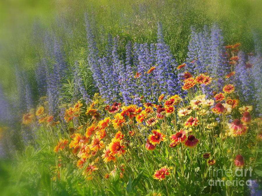 Fields Of Lavender And Orange Blanket Flowers Photograph  - Fields Of Lavender And Orange Blanket Flowers Fine Art Print