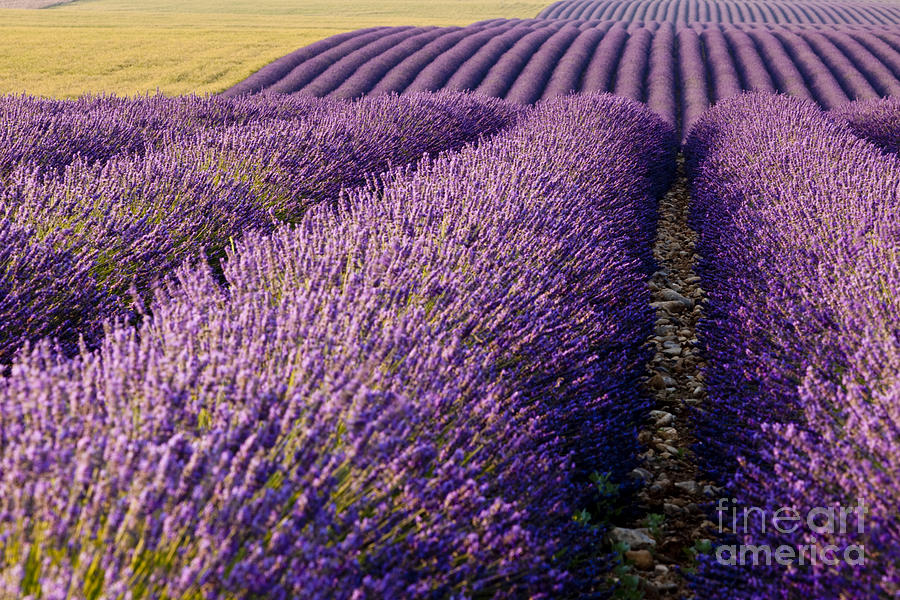 Lavender shower curtain - Fields Of Lavender Photograph By Brian Jannsen
