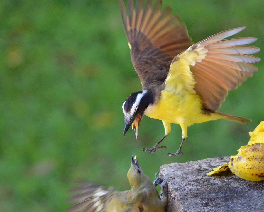 Bird Photograph - Fighting For Food by Anton Joseph