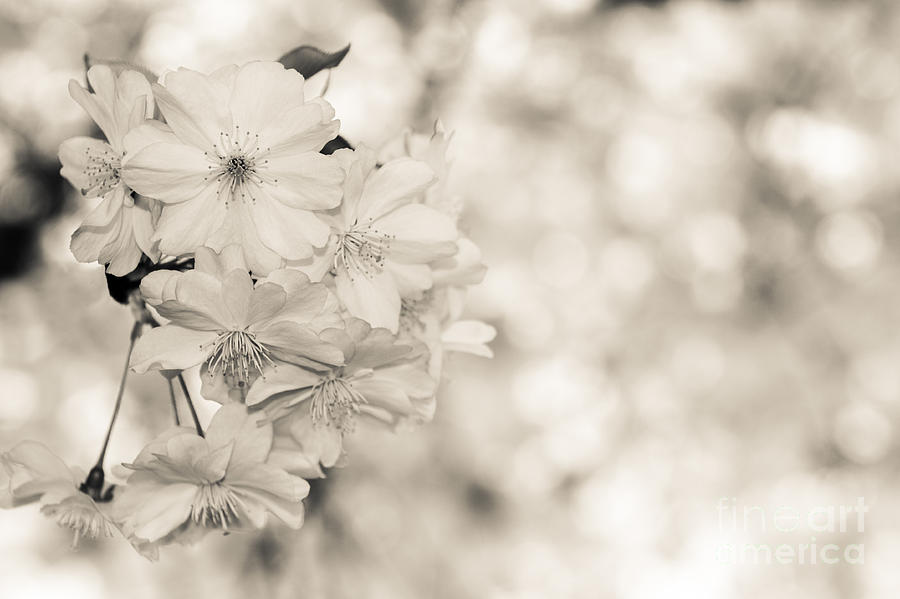 Hanami Photograph - Finest Spring Time - Bw by Hannes Cmarits