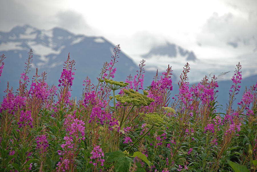 Fireweed Photograph  - Fireweed Fine Art Print