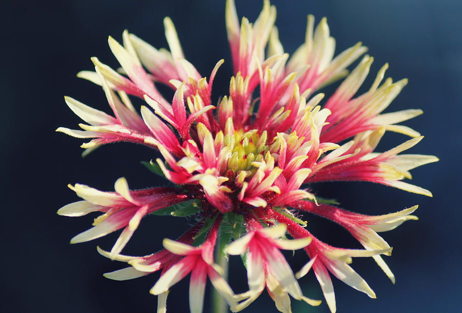 Firework Blooms Photograph