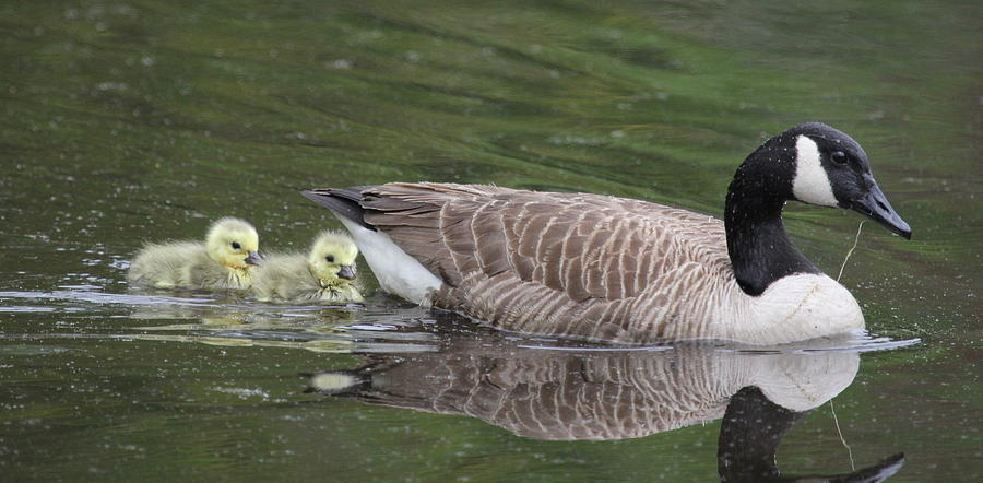 Goose Photograph - First Swim by Veronica Ventress