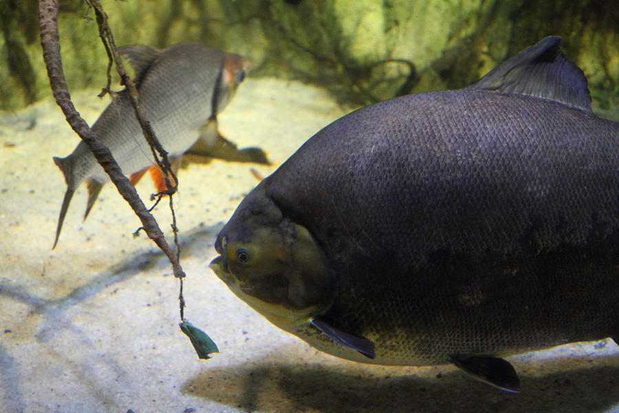Fish - National Aquarium In Baltimore Md - 1212125 Photograph