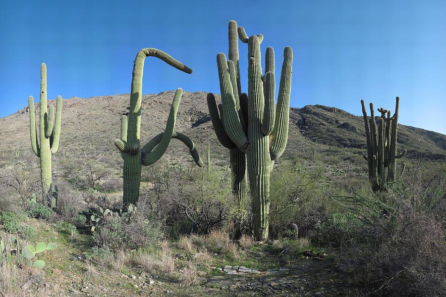 Cactus Photograph - Five Saguaros At Saguaro National Park Az  by Brian Lockett
