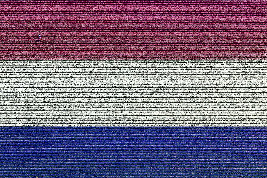 Flag Hyacinths, Lisse Photograph