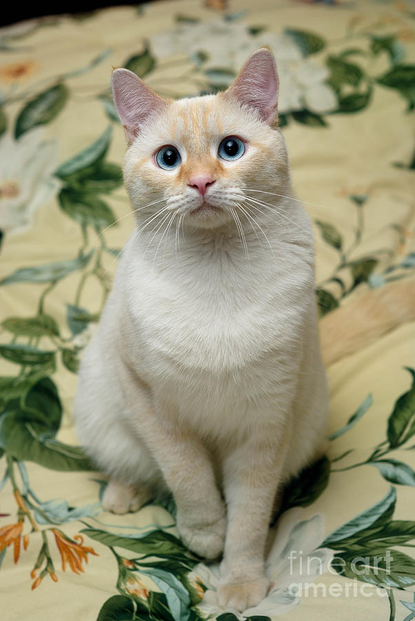Flame Point Siamese Cat Photograph